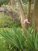 Lilibeth Andre, Garden Iris, photograph