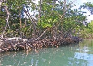 mangrovespc300093_438x0_scale
